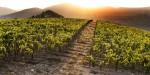 I VIGNETI AL TRAMONTO - the Vineyards at sunset-4440075707